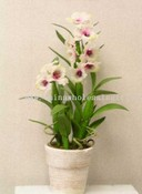 Dendrodium Orchid Plant images