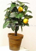 Mandarin Tree images