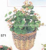 Mini Geranium Bush images