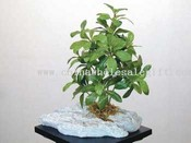 Pittosporum W/PU Stone images