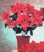 Poinsettia Bush images