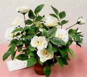 Sm.Camelia Rose W / Pot images