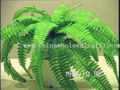 Boston Fern images