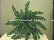 Giant Boston Fern images