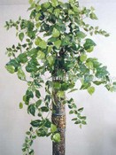Giant Pothos Philo Bush images